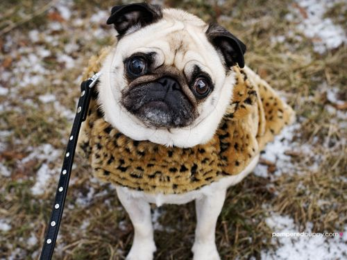 103 Pugs Wearing Little Jackets Pugs Cute Pug Pictures Cute Pugs
