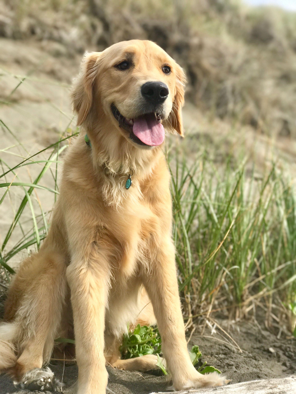 Golden Retriever Dogs Animals