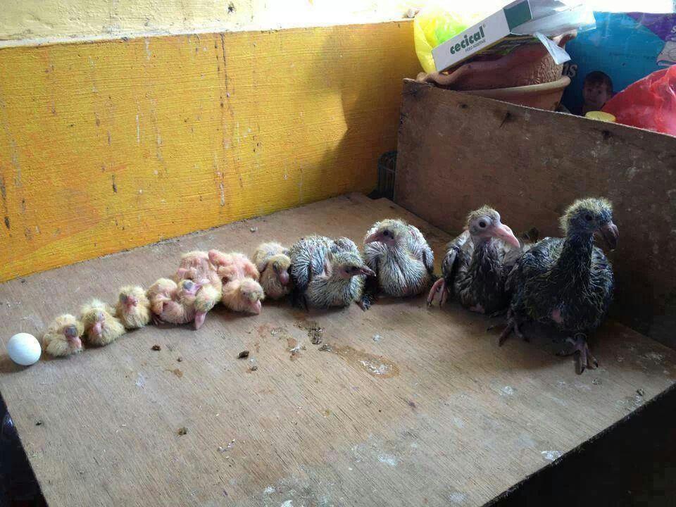 Baby Wood Pigeon Food