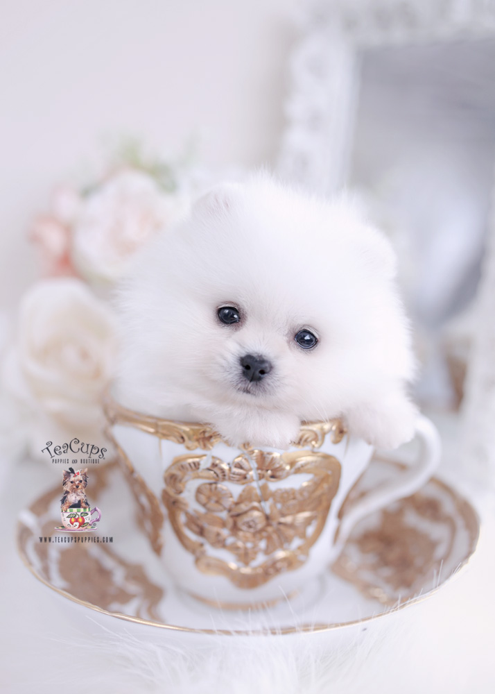 White Teacup Pomeranian Puppies for Sale | Teacup Pomeranian