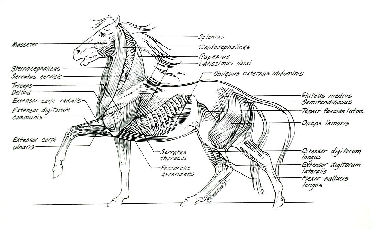 Horse Anatomy II | Horsey Things!! | Pinterest | Horse anatomy ...