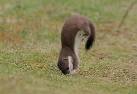 stoats!!