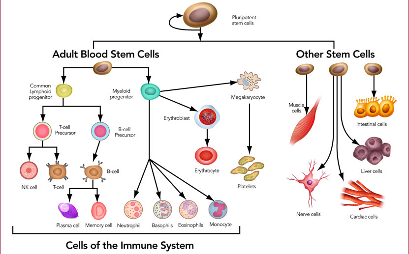 Stem Cells Definition Properties Types Uses Challenges Stem Cells Cell Definition Somatic Cell