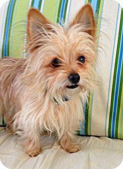 Fennville Mi Yorkie Yorkshire Terrier Cairn Terrier Mix Meet