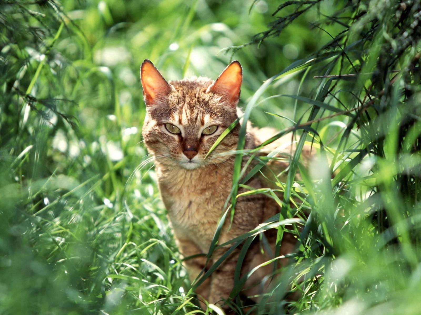 Rednose mate none (tom) Gatos, Gato domestico, Los gatos