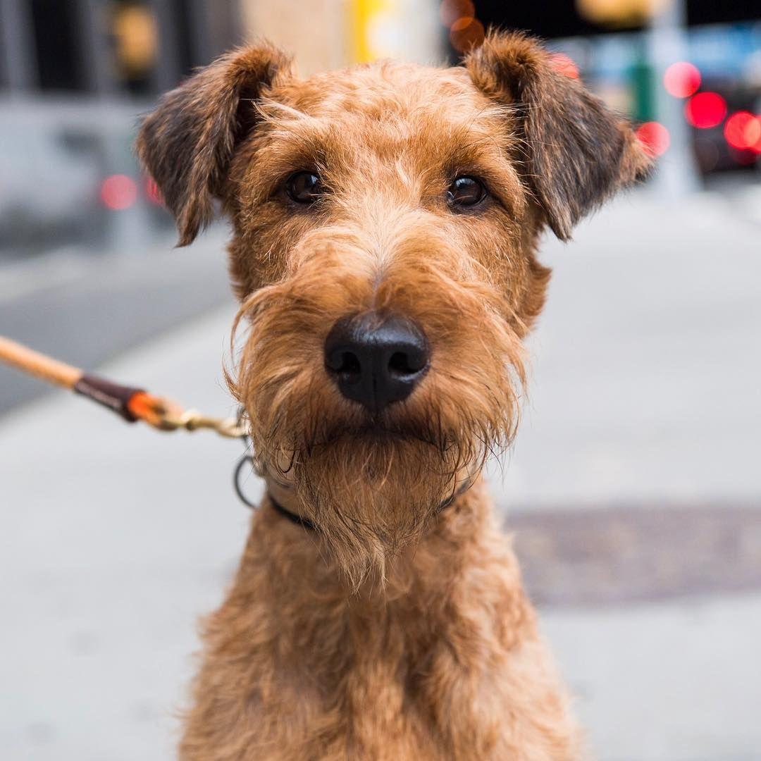 Dante Irish Terrier 2 Y O Houston Washington St New York