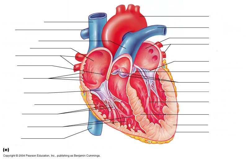 Class Blog Bio 202 Heart Anatomy Worksheet Cakepins Anatomy