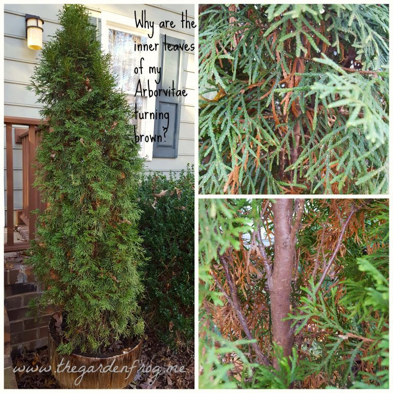 Why Are The Inner Leaves Of My Arborvitae Turning Brown Emerald Green Arborvitae Thuja Emerald Green Arborvitae