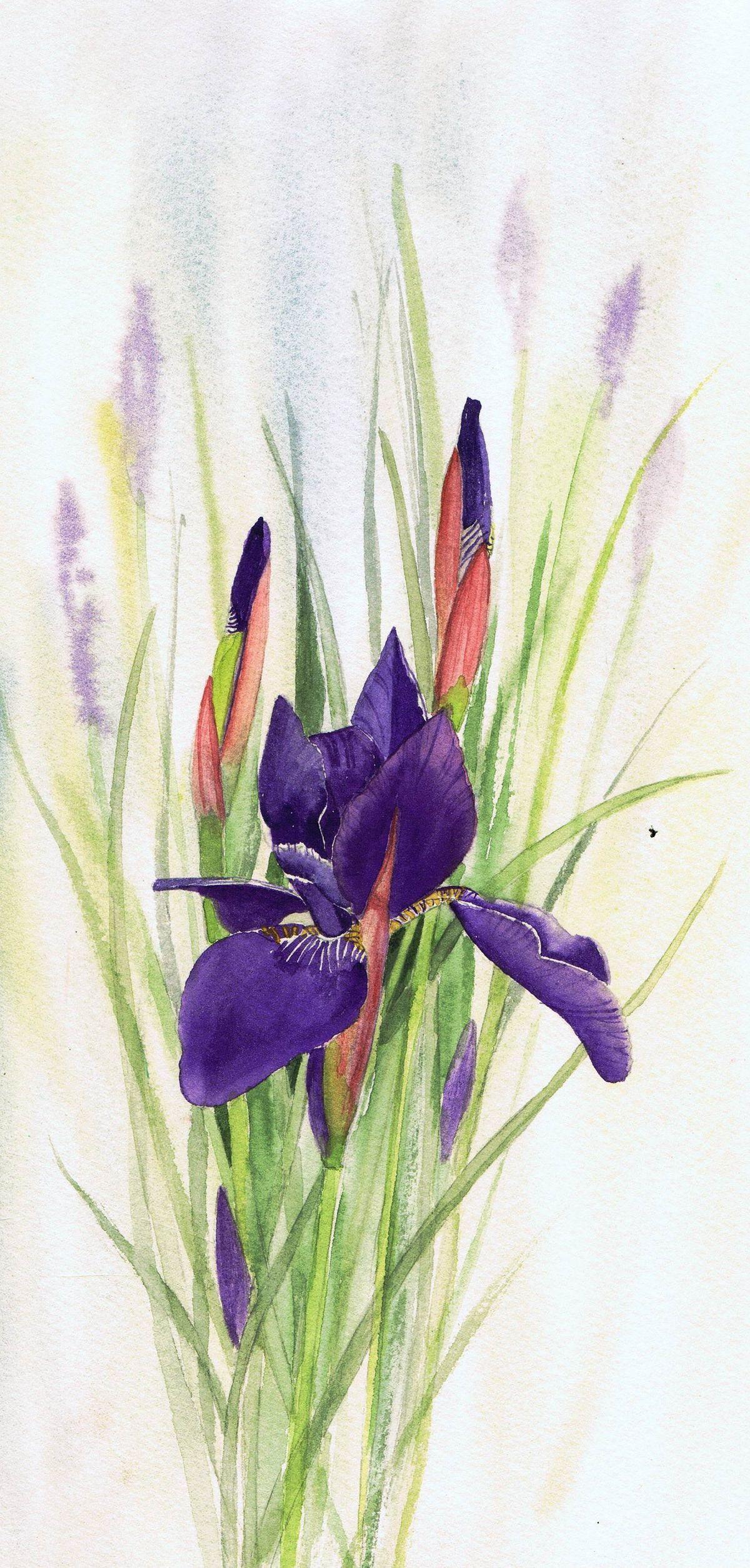 1b58bdb143994fba1ce676cb1230833ag 12002508 pixels art first iris by julie horner watercolour izmirmasajfo