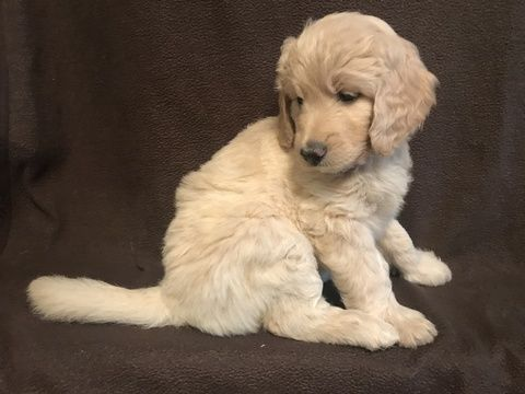 Litter Of 7 Goldendoodle Puppies For Sale In Macon Ga Adn 38323