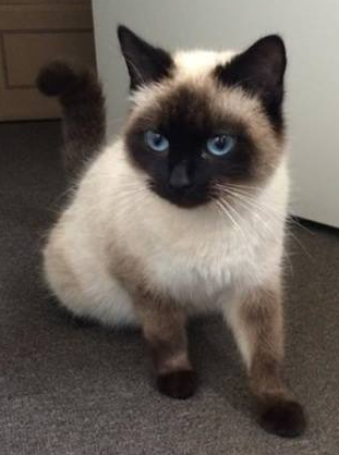 Pictures Of Balinese Cat Breed Hypoallergeniccatsbreeds