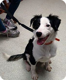 Beaver Falls Pa Border Collie Mix Meet Buddy A Puppy For Adoption Puppy Adoption Border Collie Pets