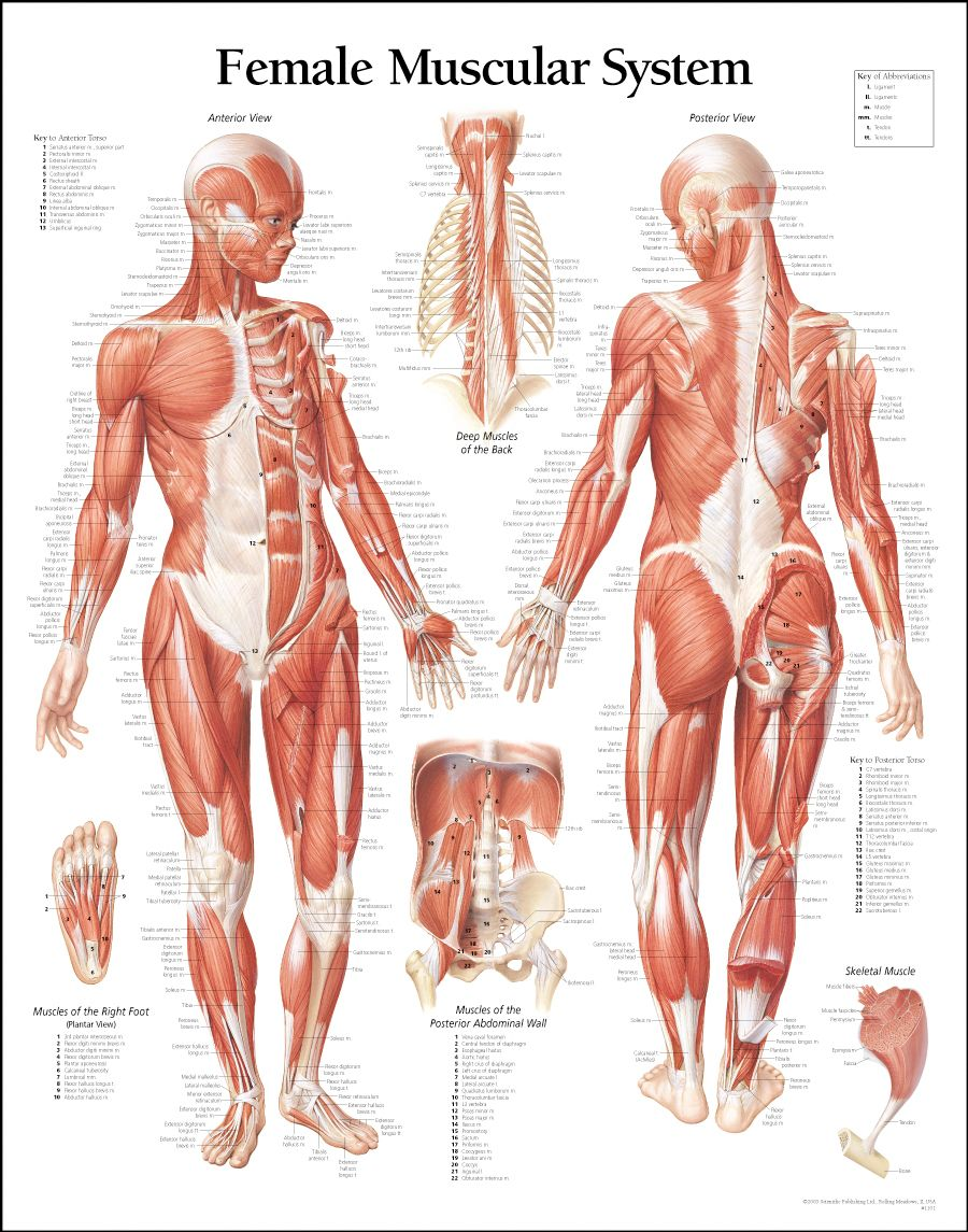 Women Muscle Diagram A Great Female Anatomy Reference For Modeling ...