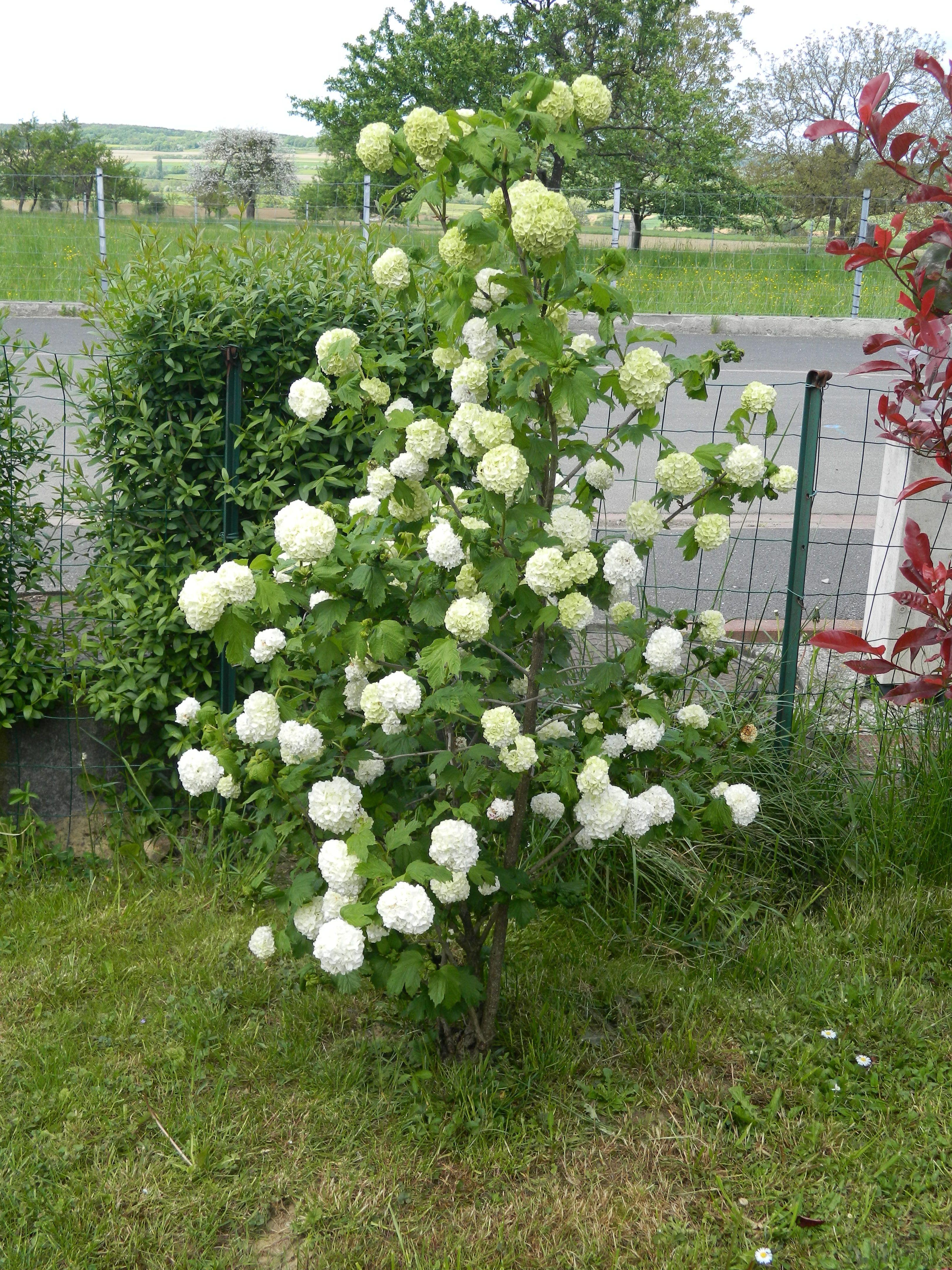 Arbuste Boule De Neige : arbuste, boule, neige, Arbuste,
