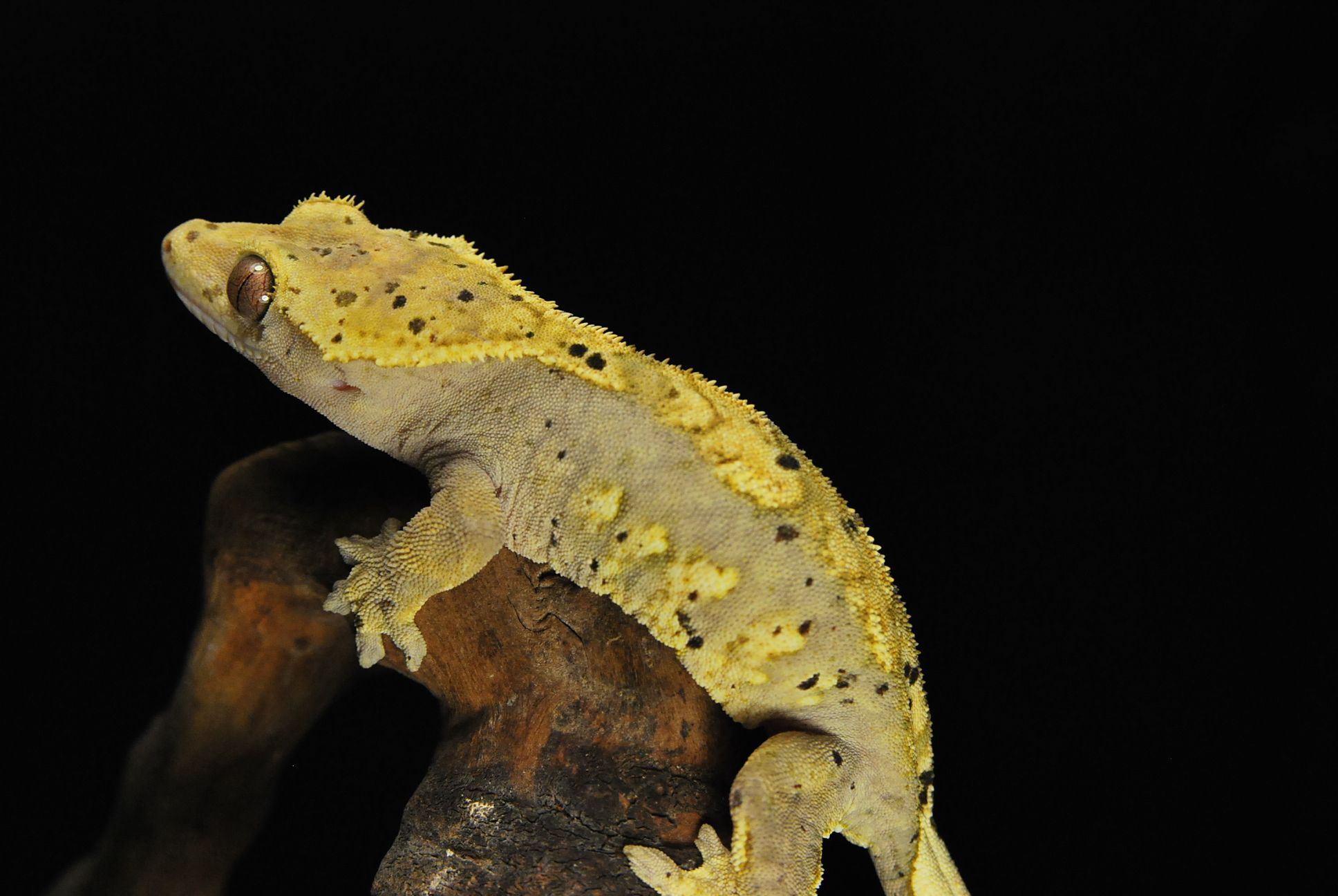Dalmation Gecko Crested Gecko Harlequin Dalmation Crested Gecko