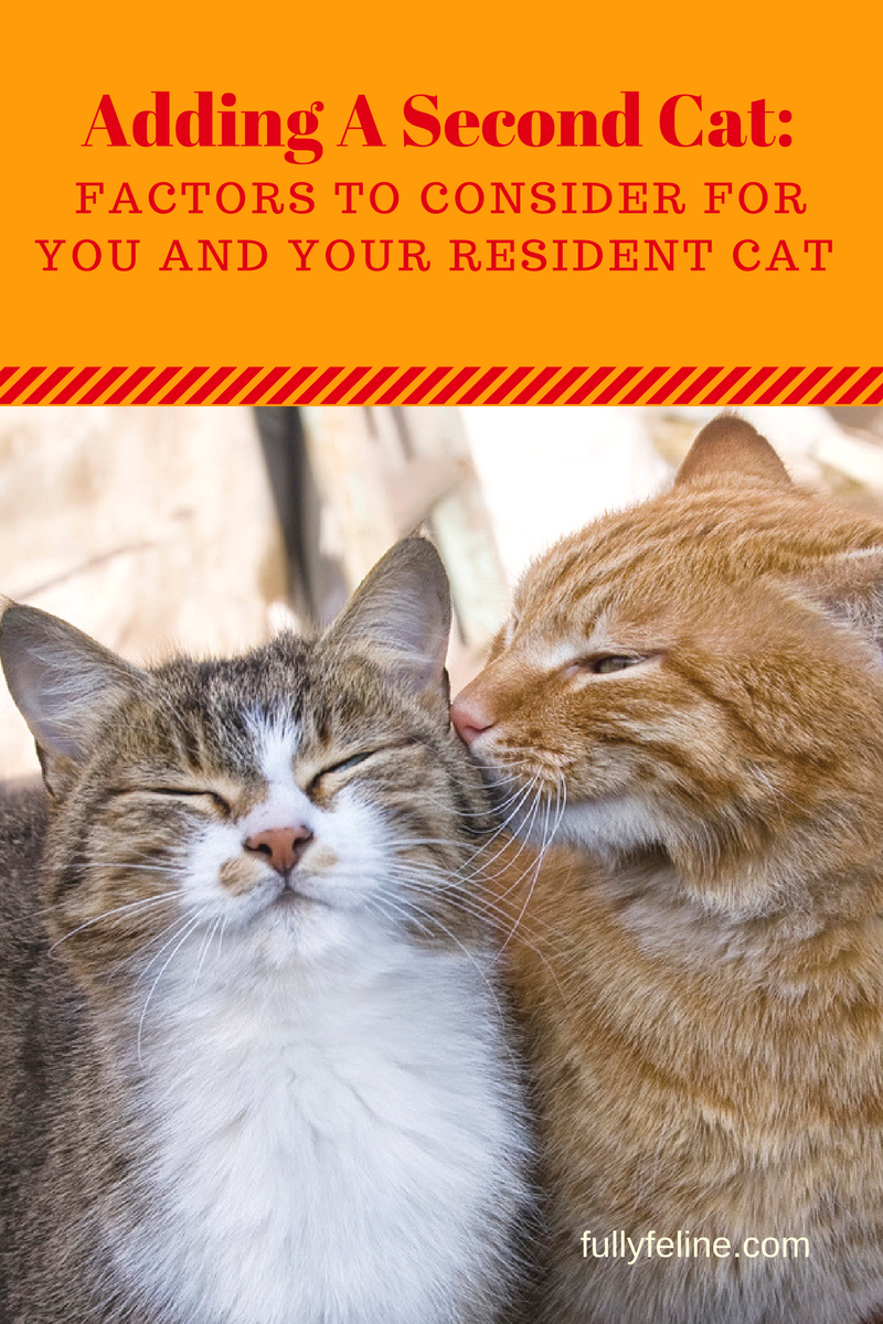 Adding A Second Cat To Your Family Is Your Cat Ready For A Friend Fully Feline Cats Cat Care Fancy Cats