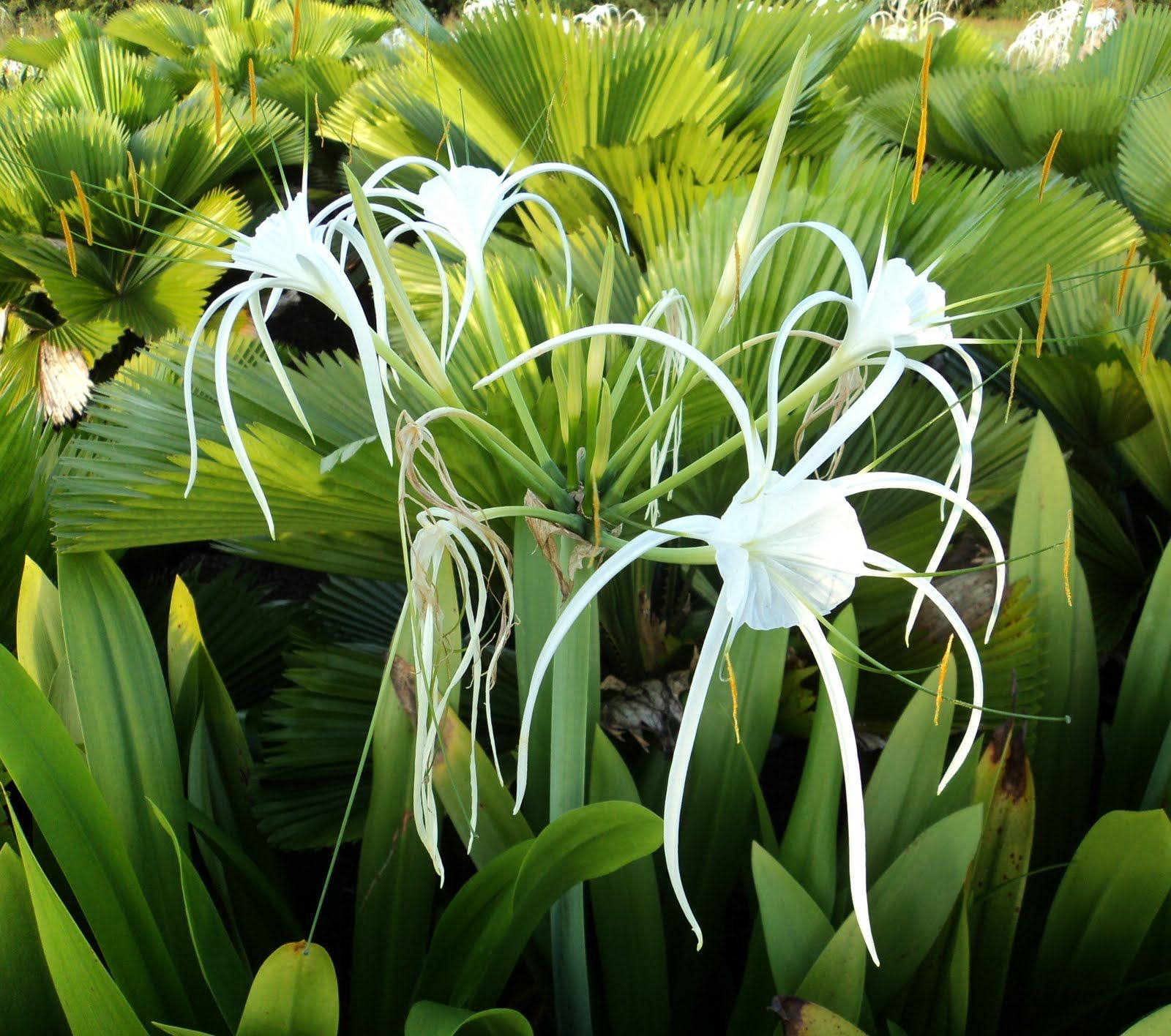 All The Plants 3rd Ed Hymenocallis Littoralis Spider Lily
