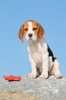 Defination Of Bench Leg Beagle Beagle Baby Beagle Beagle Dog