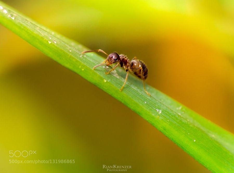 summer ant by riankrenzer. @go4fotos
