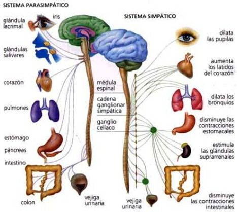 El SISTEMA NERVIOSO: se divide en dos partes, el SISTEMA nervioso ...