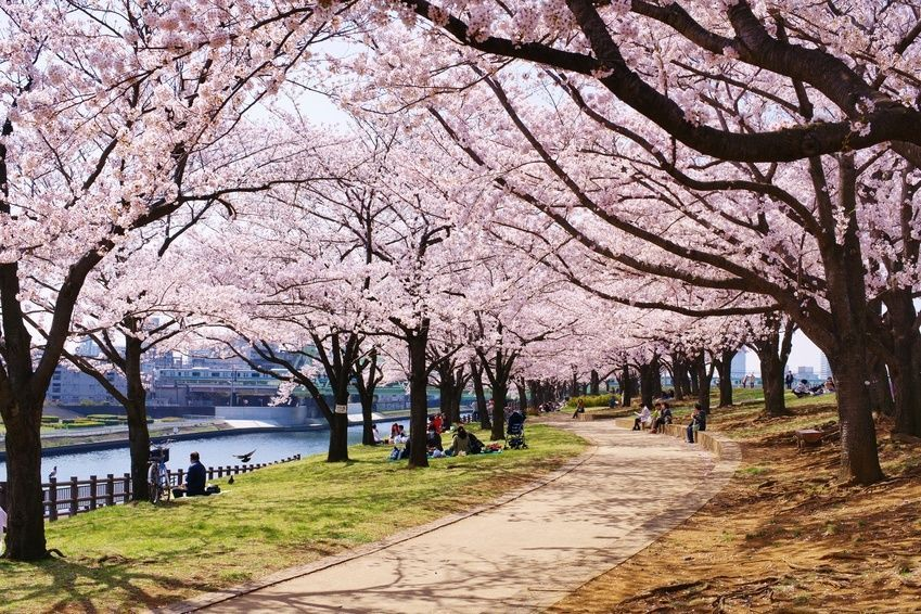 How To Grow A Japanese Cherry Blossom Tree From Seed Geriminatin