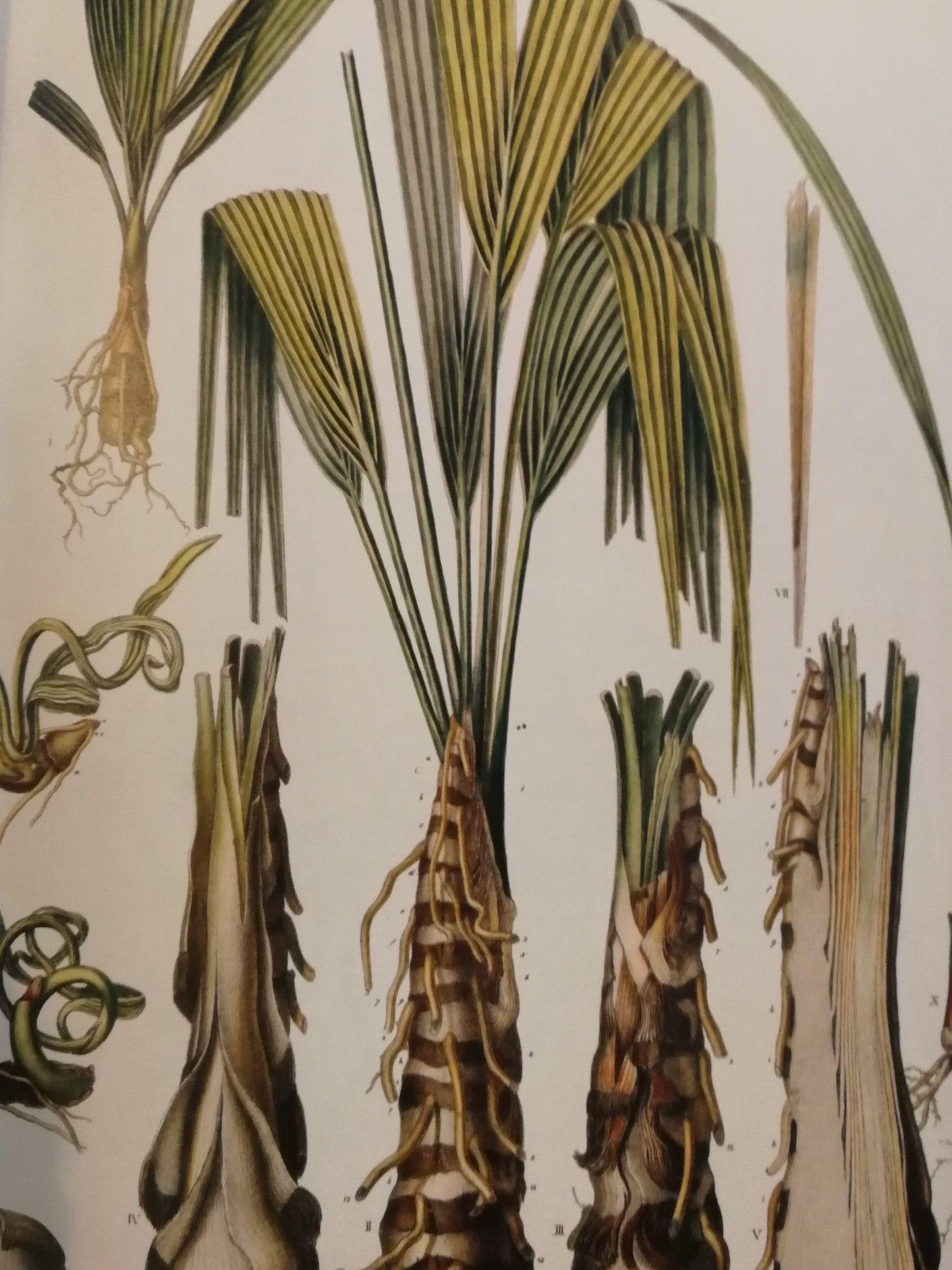 Palm diagrams | Plants, Garden, Palm