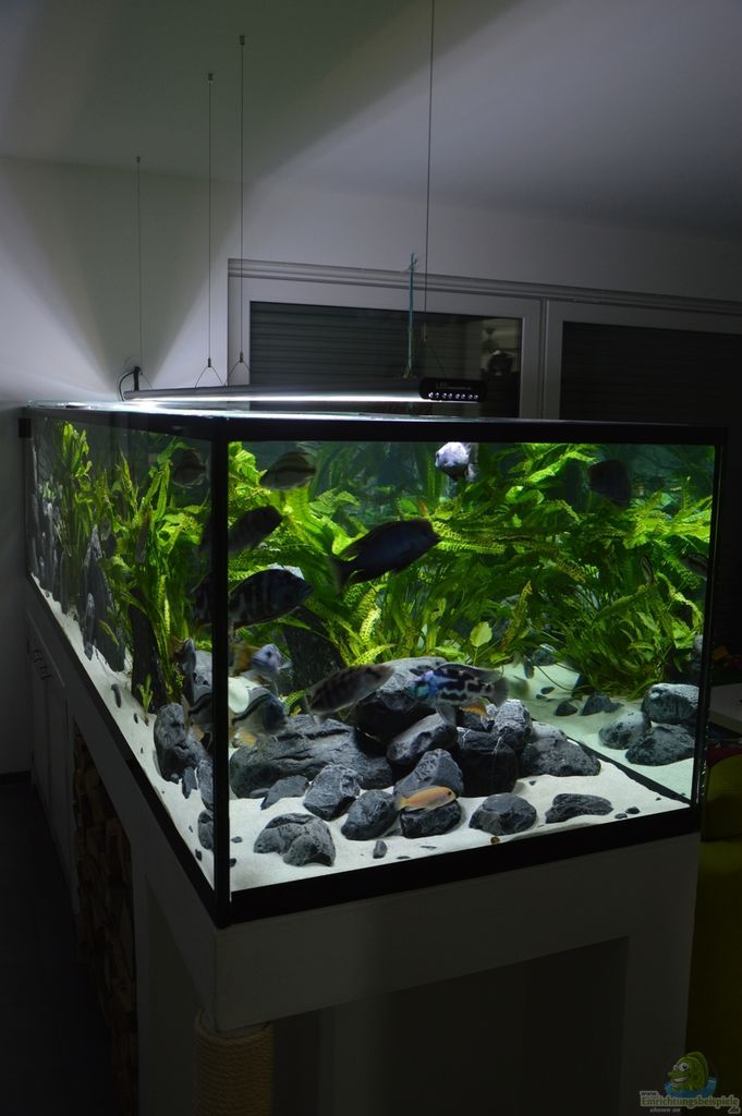 aquarium malawi predator bay aquarien. Black Bedroom Furniture Sets. Home Design Ideas