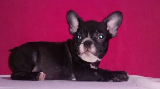 French Bulldog Puppy For Sale In Charleston Sc Adn 50013 On