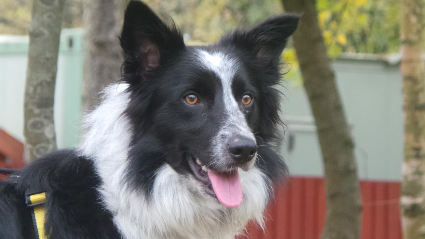 Adopt A Dog Bryn Border Collie Dogs Trust Dog Adoption