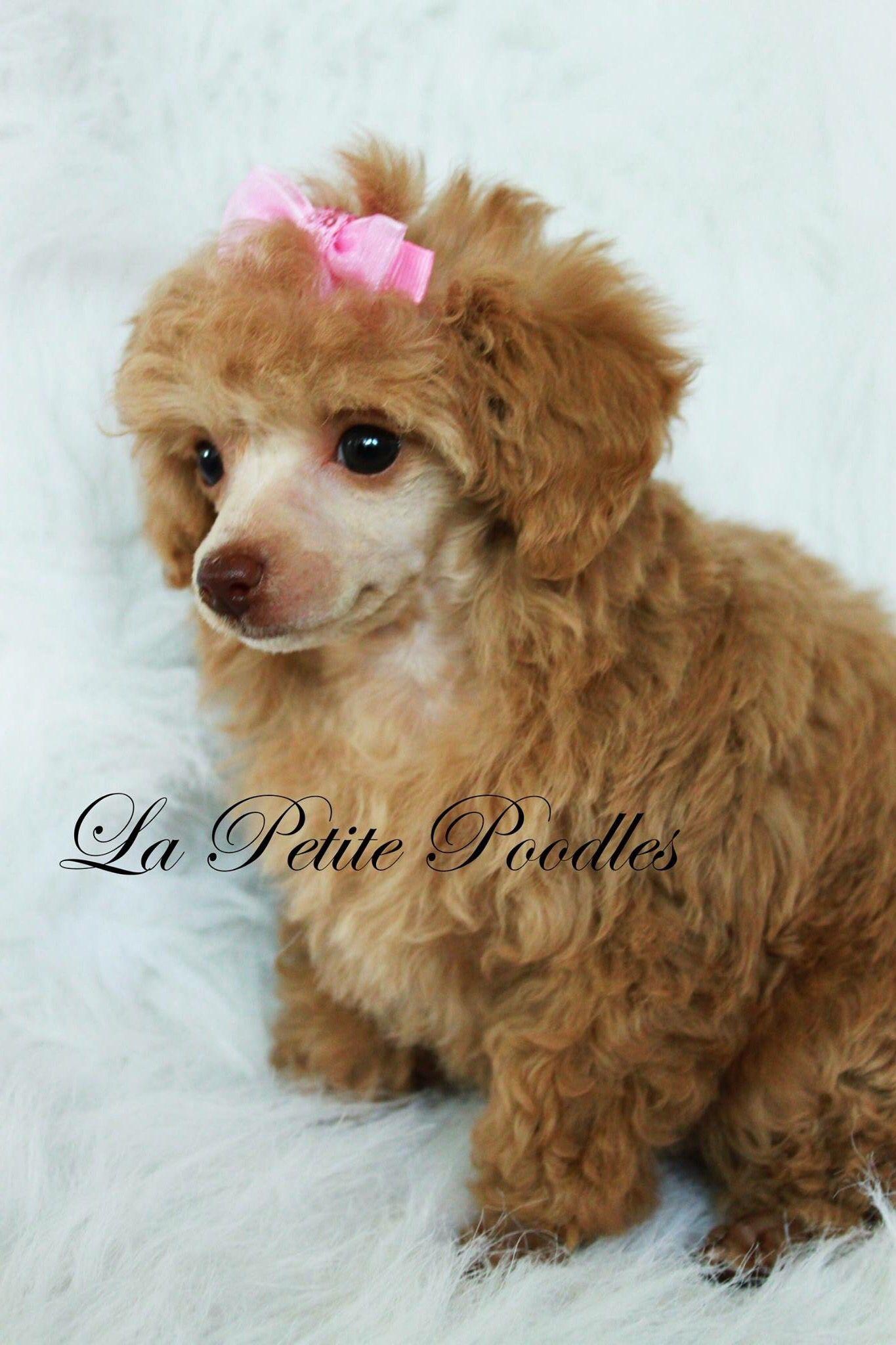 Apricot Tiny Toy Poodle Www Lapetitepoodles Com Cute Animals
