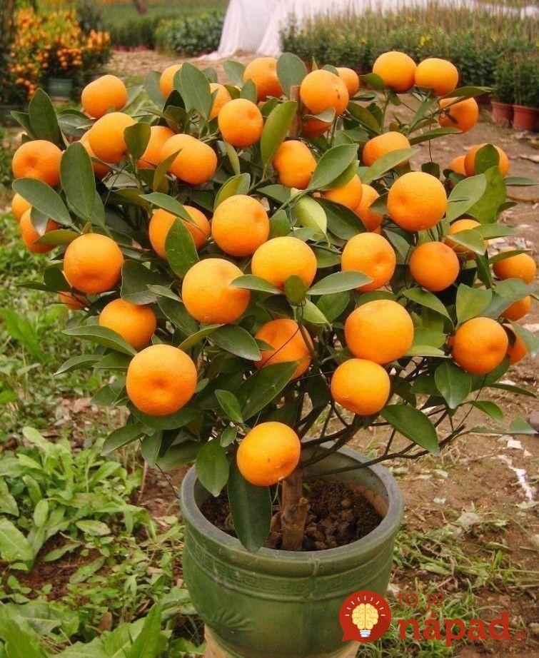 Ako si vypestovať doma mandarinku