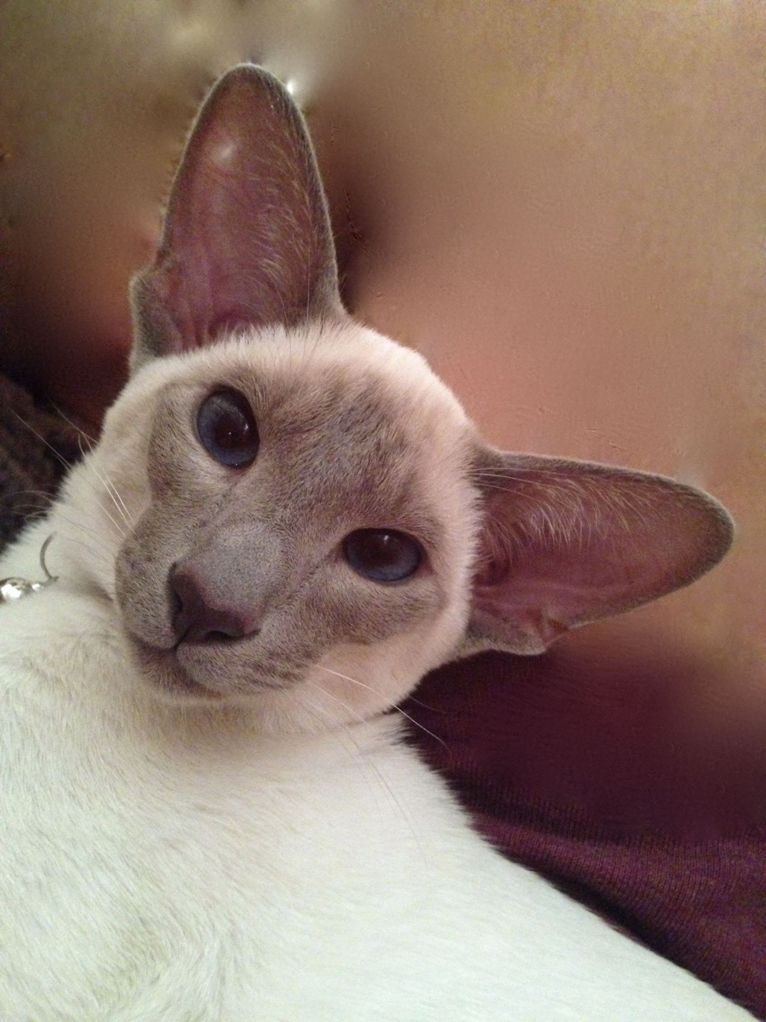 Modern siamese cat- Lilac point- Puccini Van Brukel | Siamese Cat ...