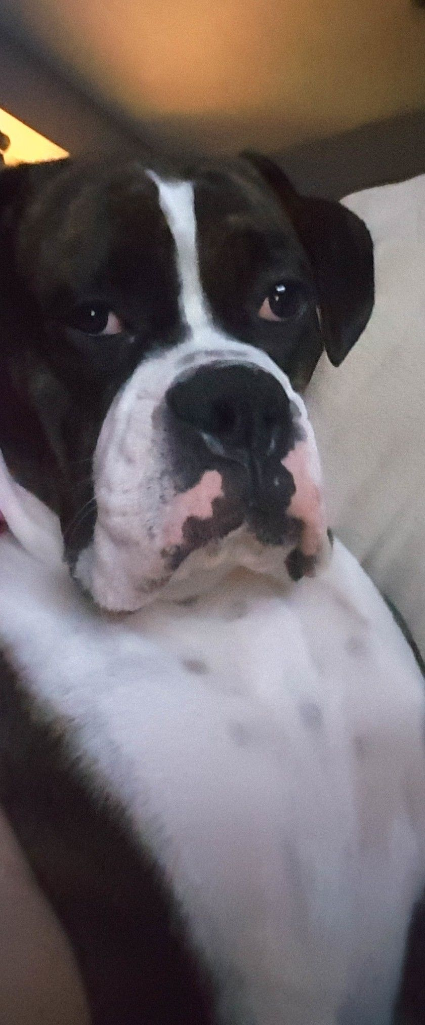 Pin by bj laird on boxers are the best pinterest dog