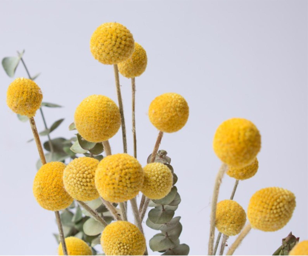 20 Dried Billy Ball Dry Craspedia Golden Ball Billy Buttons Etsy In 2020 Dried Flowers Billy Balls Billy Buttons