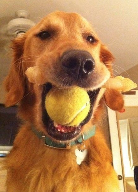 Too Many Toys Not Enough Mouth My Golden Must Be Long Life Fur