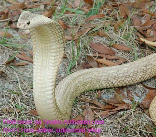 Cobra Snake Antivenom | Snakes