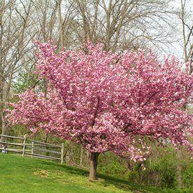 Prunus Serrulata Kwanzan Or Kanzan Flowering Cherry Tree Ornamental Cherry Blossom Trees