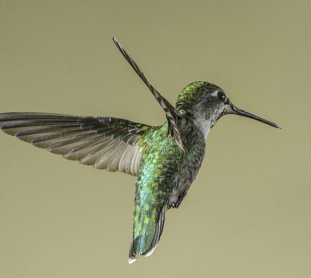 Female Anna S Hummingbird In The Light By Bill Gracey On Flickr Annas Hummingbird Pet Birds Hummingbird