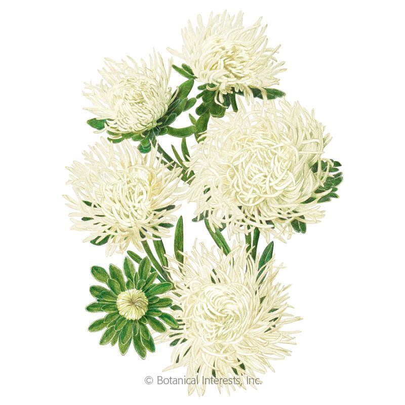 1171i Aster Anniversary Bengal Rose Frost In 2020 Flower Seeds Flower Pots Annual Plants
