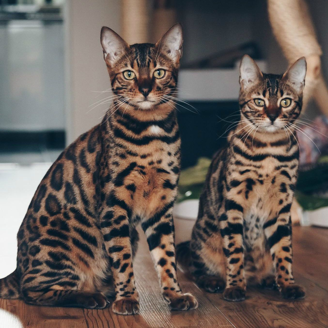 Whoa! Are these house cats or wild cats? Bengal cat