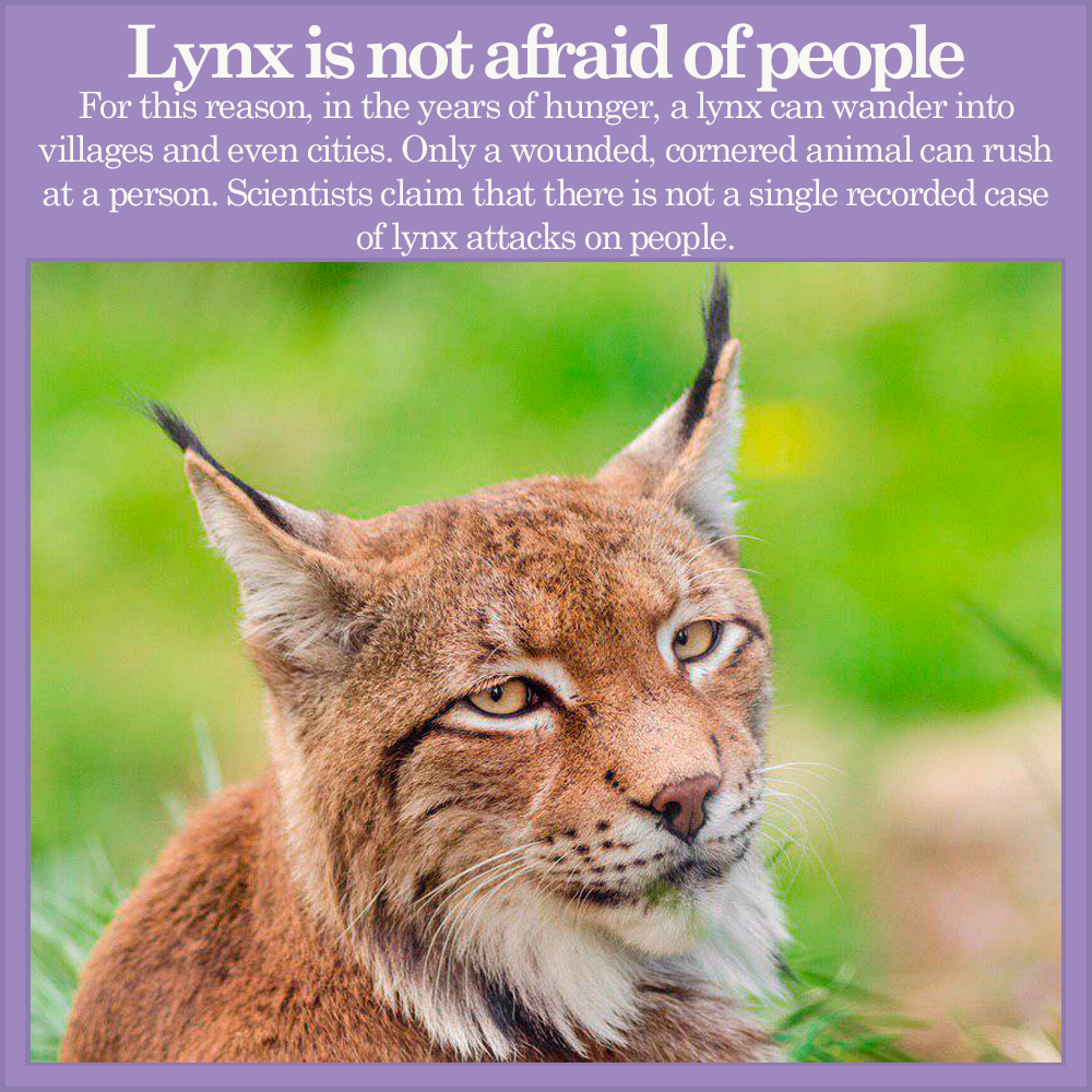 Fact about lynx Cat facts, Lynx facts, Animal facts