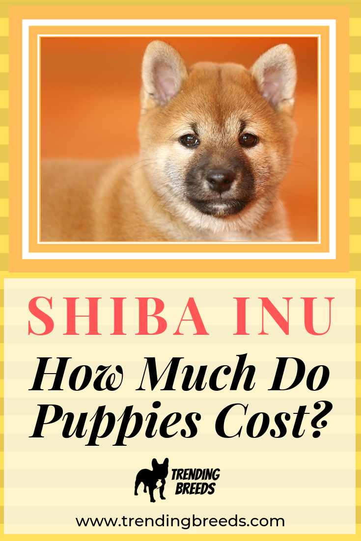 How Much Do Shiba Inu Puppies Cost See Actual Breeder Prices Shiba Inu Shiba Inu Puppy Shiba