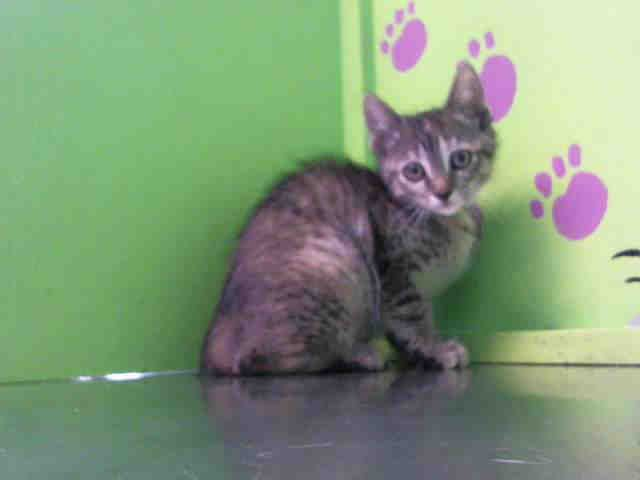 8 5 16 Just A Kitty Moon Urgent Barc Animal Shelter In Houston Texas Adopt Or Foster 15 Week Old Spayed With Images Kitten Adoption Animal Shelter Animals