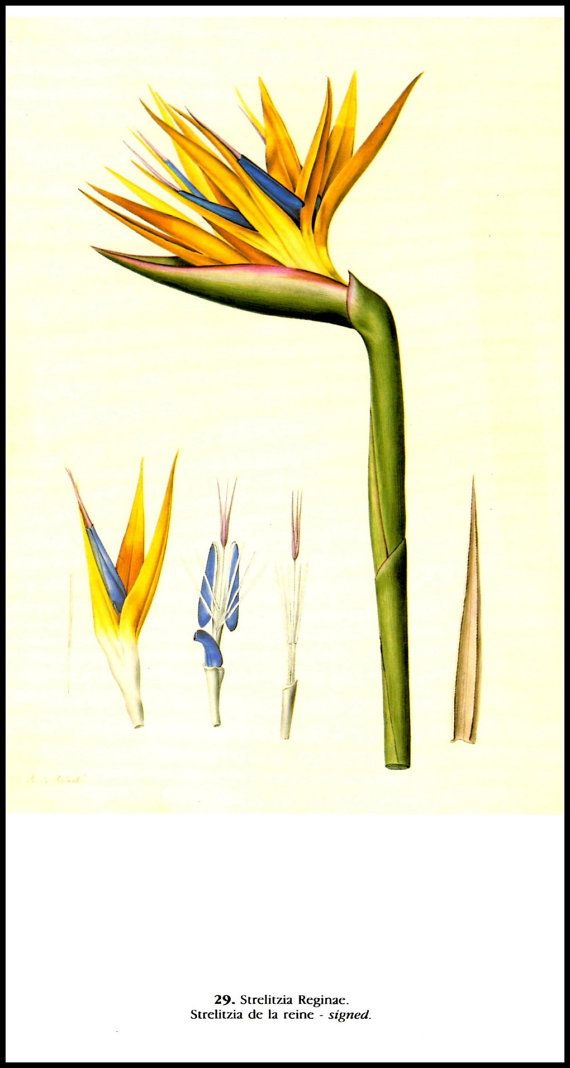 Strelitzia,  Bird of paradise flower / plant , Crane flower , is a genus of five species of perennial plants, native to South Africa. It belongs to the plant family Strelitziaceae.  It is the floral emblem of the City of Los Angeles.   Vintage Botanical Print Pierre Joseph