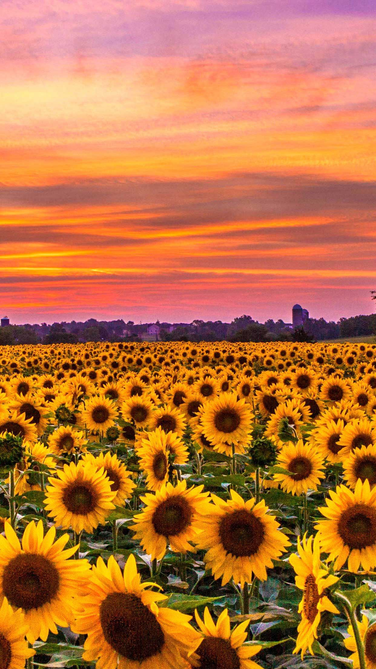 -Sunflowers field sunset Iphone Wallpapers Hd in 2020 ...