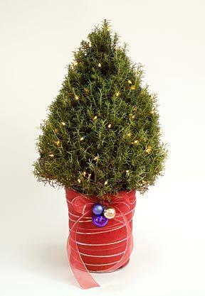 A cone-shaped Rosemary topiary decorated as a miniature Christmas ...