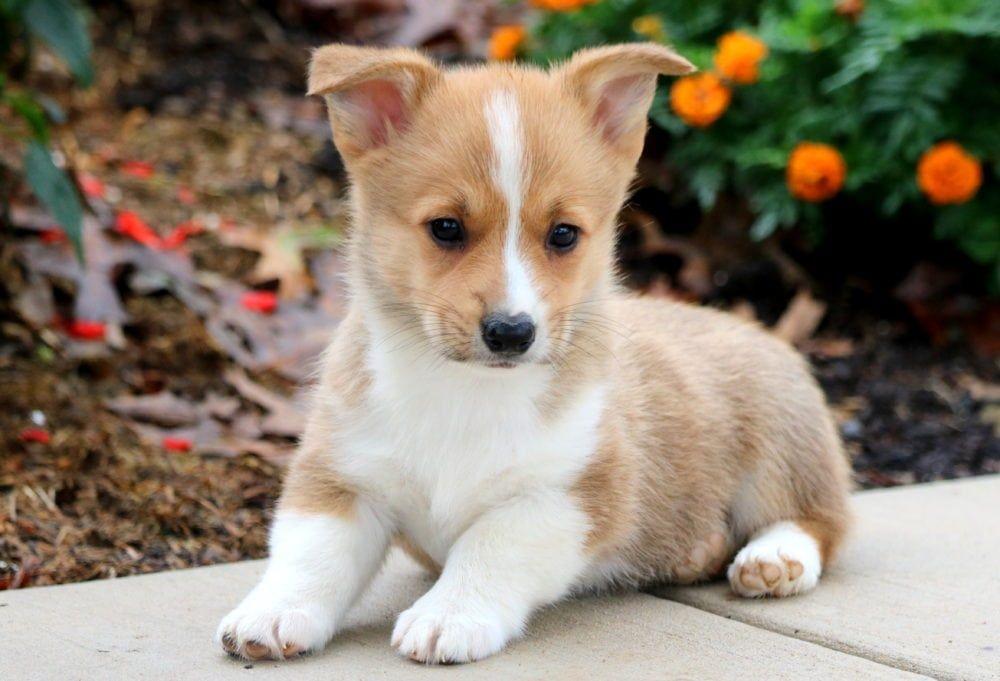 Buzz Corgi Puppies For Sale Welsh Corgi Puppies Corgi Facts
