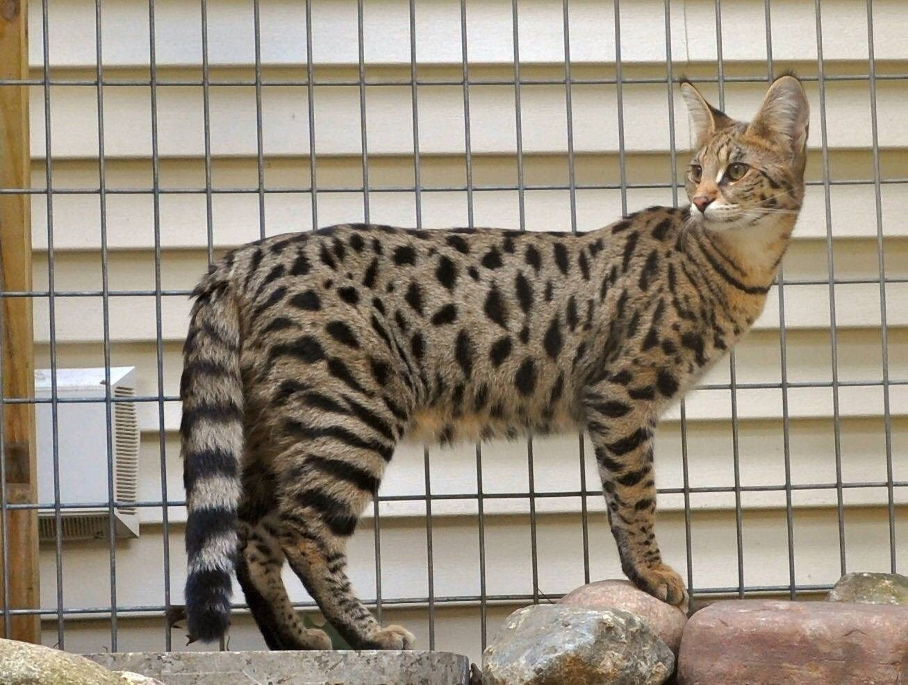 Traverse City Woman Reunited With Missing F1 Savannah Cat Savannah Chat Savannah Cat Cats
