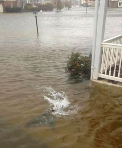 A shark swims in a New Jersey yard that has been flooded by Hurricane Sandy...YES, that is a shark!