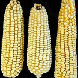 "Southern Maiz Blanco ZL058  From south of Durango, Mexico near Guanajuato. Kernels are mostly white or yellow with a white ""floury"" cap. An all-purpose corn."